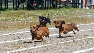 Release the hounds! The Dachshunds, that is, at Fort Worth's Oktoberfest.  Photo: Panther Island Pavilion